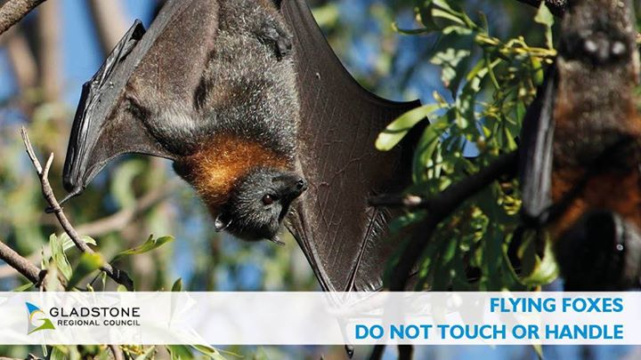 Flying foxes do not touch
