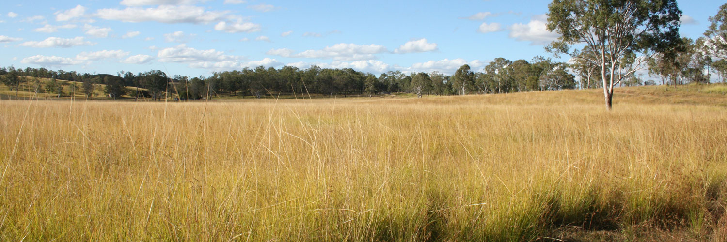 Paddock of Giant Rats Tail Grass